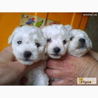 Бишон фриз - сказочные собачки