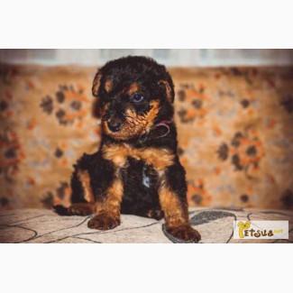 Продам щенка эрдельтерьера с родословной
