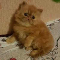 Очаровательные кошечки персидские