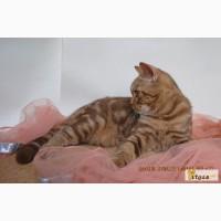 Британский котенок эсклюзивного окраса