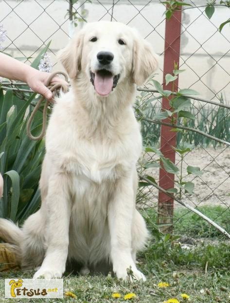 Фото 2/2. Золотистого ретривера великолепные щенки