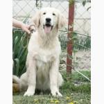 Золотистого ретривера великолепные щенки