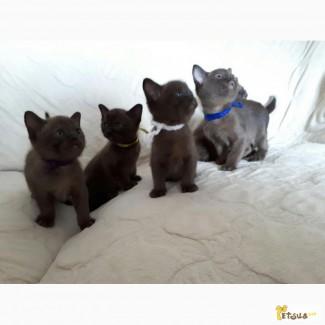 Продаються кошенята породи європейська бурма/ продаются котята породы европейская бурма