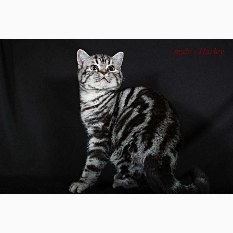 Фото 1/5. Британский короткошерстный котенок