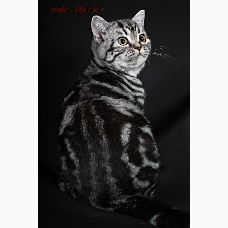 Фото 2/5. Британский короткошерстный котенок