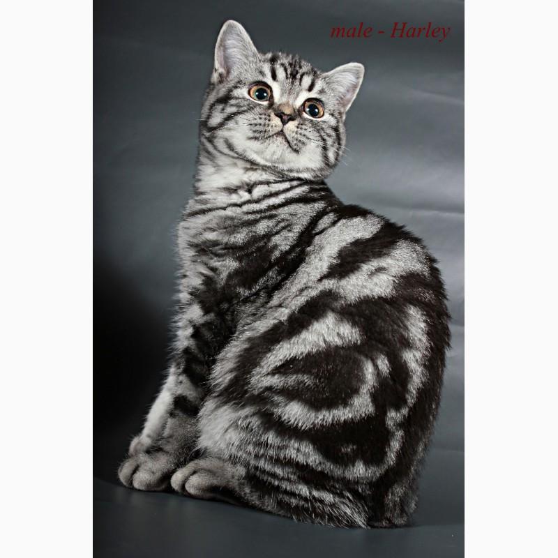 Фото 3/5. Британский короткошерстный котенок