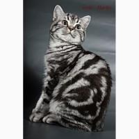 Британский короткошерстный котенок
