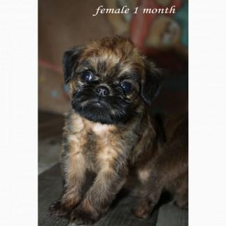 Красивая девочка брюссельского гриффона, щенок