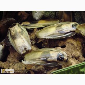 Тараканы мертвая голова (Blaberus craniifer)
