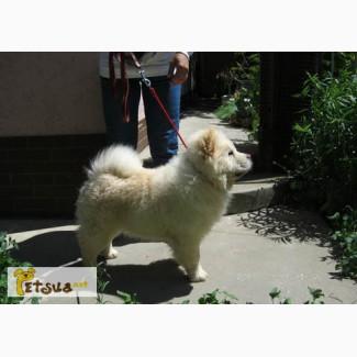 Продаются подрощенные щенки (суки) чау-чау кремового окраса