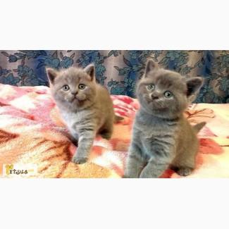 Продаю британских короткошерстных котят