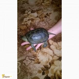 Продам болотную черепаху