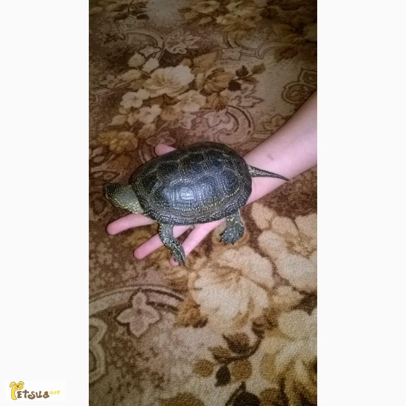Фото 1/4. Продам болотную черепаху