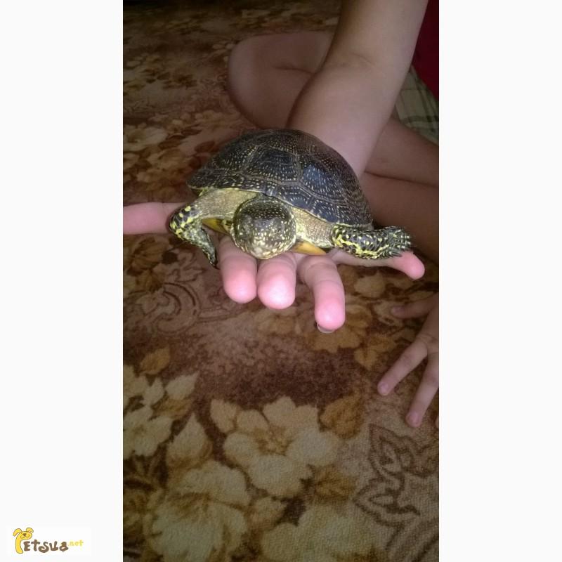 Фото 2/4. Продам болотную черепаху