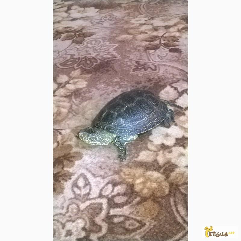 Фото 3/4. Продам болотную черепаху
