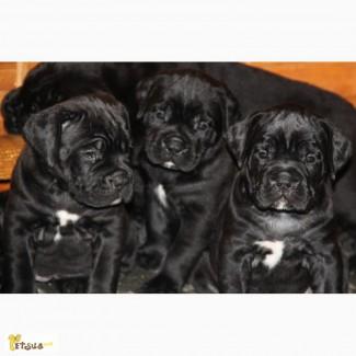 Продаются высокопородные щенки кане корсо