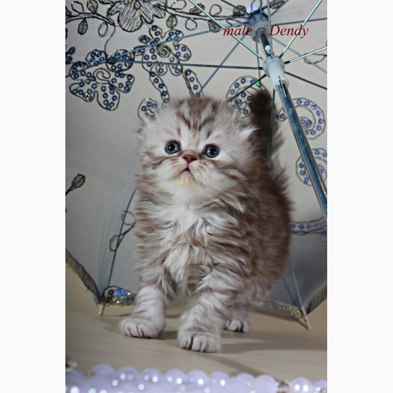 Фото 1/5. Шотландский вислоухий котенок