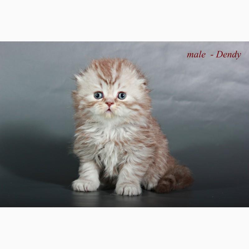 Фото 2/5. Шотландский вислоухий котенок