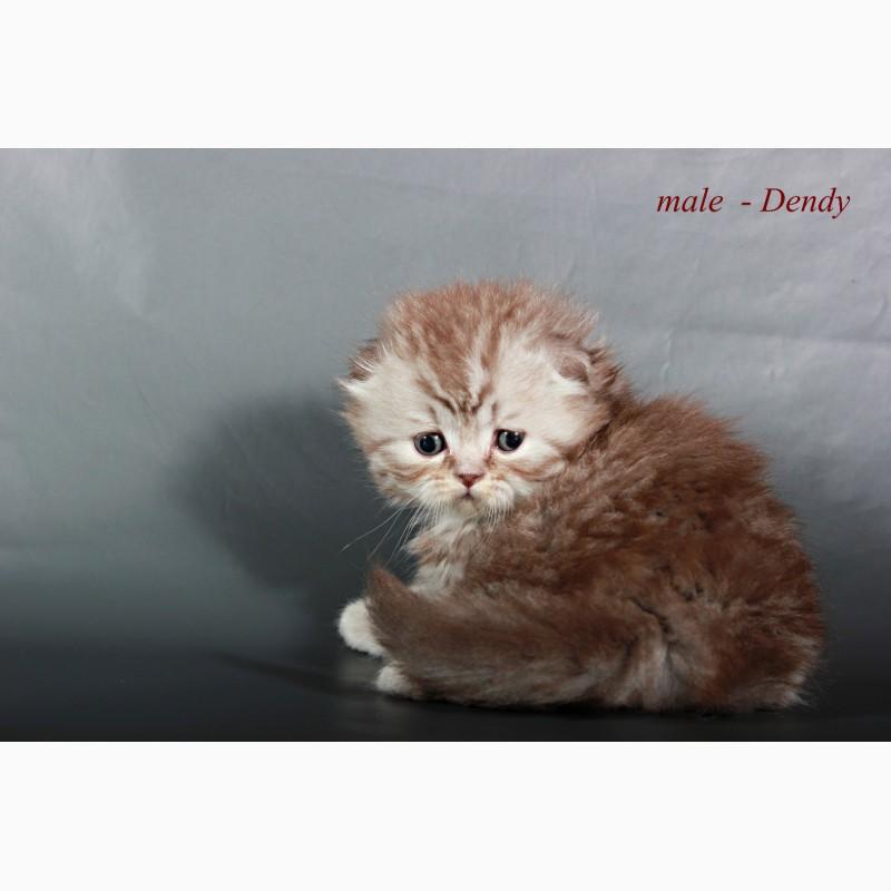 Фото 3/5. Шотландский вислоухий котенок
