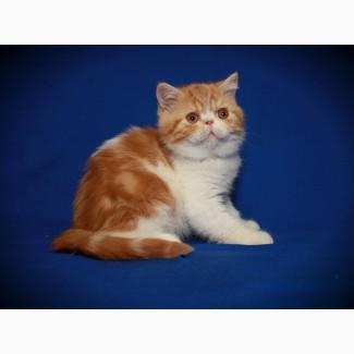 Экзоты. Котята от элитных родителей