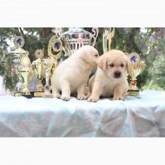 Продаются щенки лабрадора-ретривера с документами