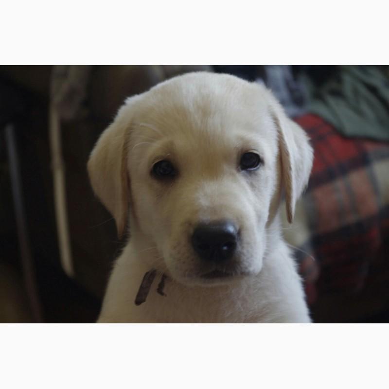 Фото 2/3. Продаются щенки лабрадора-ретривера с документами