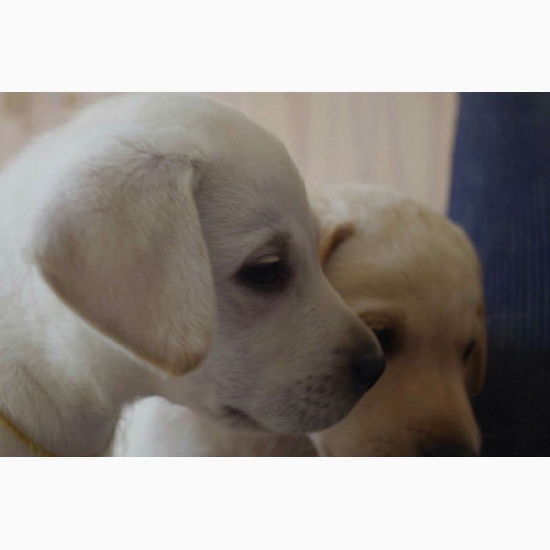 Фото 3/3. Продаются щенки лабрадора-ретривера с документами