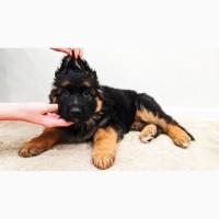 Немецкая овчарка. лучший щенок с помета