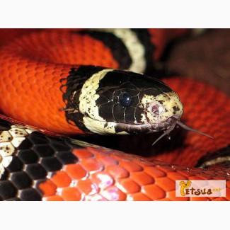 Продаются не ядовитые красочные разноцветные змеи