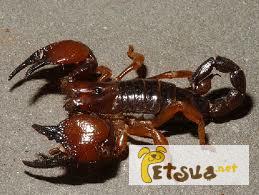 Фото 1/1. Танзанийский красноклешневый скорпион