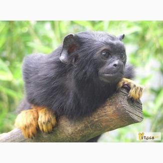 Питомник jungle-park Обезьянка игрунка краснорукий тамарин