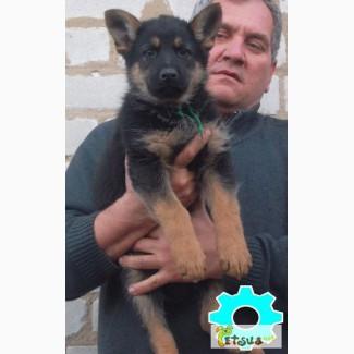 Продам щенков восточно-европейской овчарки
