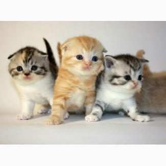 Шотландские котята, вислоухие, прямоухие.Продажа/резервирование
