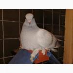 Аксессуары для голубей. Пластиковые разборные насесты для голубей