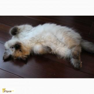 Котёнок (мальчик) породы Невская Маскарадная ищет любящих хозяев :)