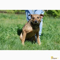 Ибица, небольшая стерилизованная собака