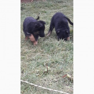 Продам щенки вівчарки