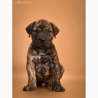 Продам щенков Южноафриканского бурбуля