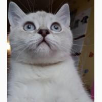 Очень красивый и умный котенок по кличке Iceberg (Айсик) редкого колорного окраса линкс п