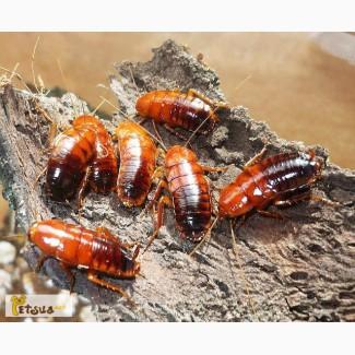 Продам 1000 туркменских тараканов