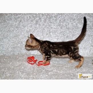 Бенгальские котята(мини леопард)