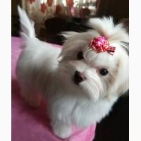 Четырехмесячная девочка - милашка, щенок мальтийской болонки (мальтезе)