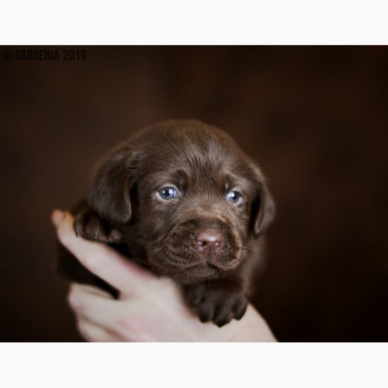 Фото 3/15. Шоколадные щенки лабрадора