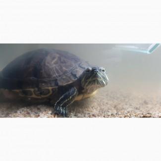 Отдам красноухую черепаху в хорошие руки