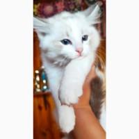 Шикарные Рэгдолл котята
