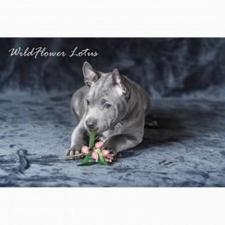 Щенки Тайского Риджбека питомник WildFlower Lotus