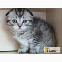 Продам вискасного вислоухого котенка в Киеве, фото и видео