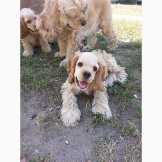 Продам щенков амереканского кокер-спаниеля