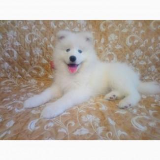 Продам щенка самоедской собаки