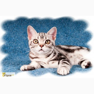 Предлагаем котенка мальчика. Американская короткошерстная